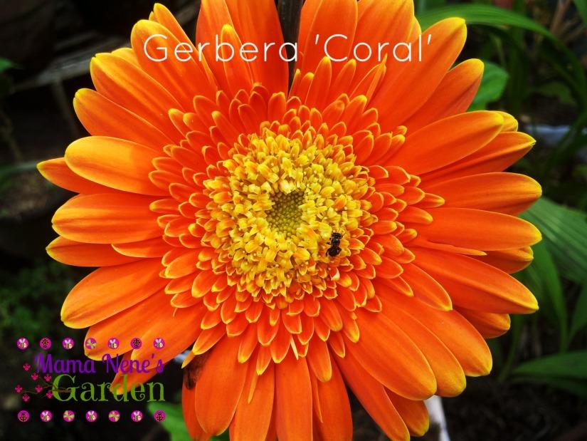 gerbera-coral